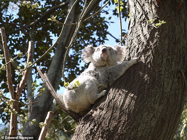 Australia's iconic koala is on the brink of extinction